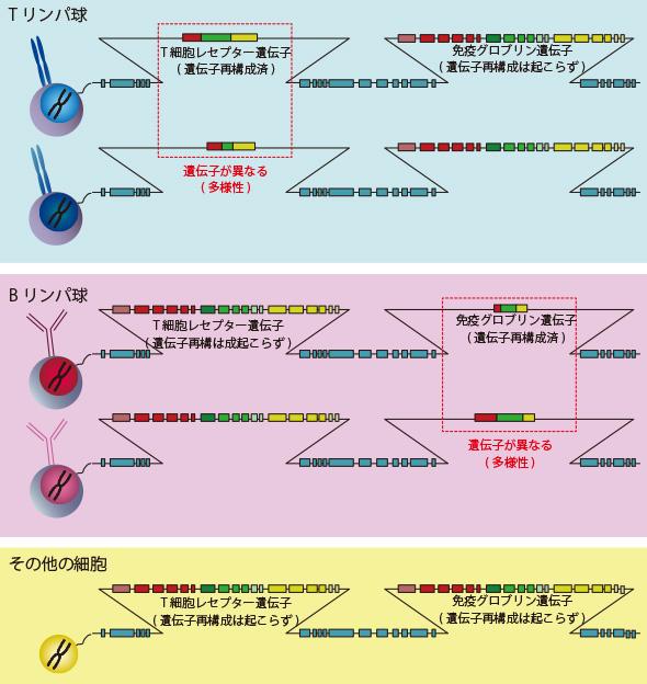 図1.T細胞レセプター(TCR)遺伝子と免疫グロブリン(Ig)遺伝子の比較