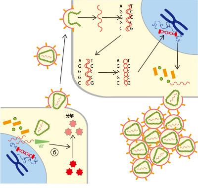 図B. Vifの作用(ウイルスの増殖促進)